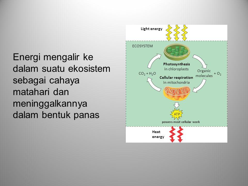 Fotosintesis •Proses dimana organisme yang memiliki kloroplas mengubah energi cahaya matahari menjadi energi kimia •Melibatkan 2 lintasan metabolik •Reaksi terang: mengubah energi matahari menjadi energi seluler •Siklus Calvin: reduksi CO 2 menjadi CH 2 O