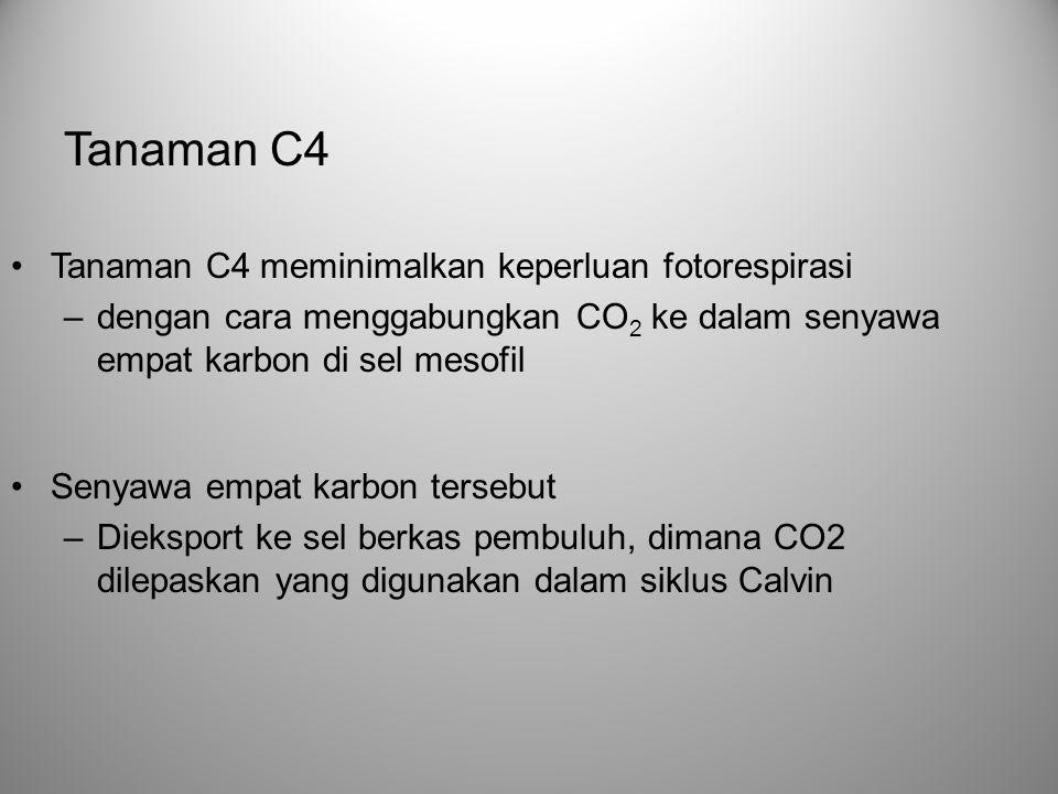 •Tanaman C4 meminimalkan keperluan fotorespirasi –dengan cara menggabungkan CO 2 ke dalam senyawa empat karbon di sel mesofil •Senyawa empat karbon te