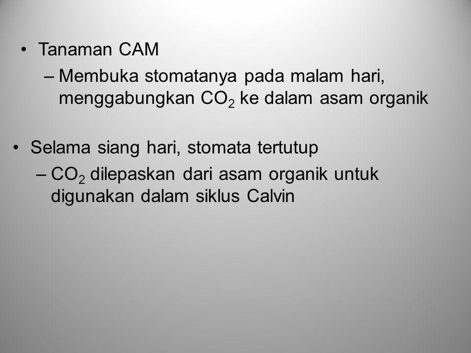 •Tanaman CAM –Membuka stomatanya pada malam hari, menggabungkan CO 2 ke dalam asam organik •Selama siang hari, stomata tertutup –CO 2 dilepaskan dari