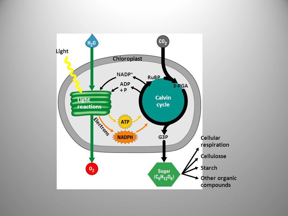 Siklus Calvin •Dimulai dari CO 2 dan menghasilkan Glyceraldehyde 3- phosphate •Tiga bagian siklus Calvin menghasilkan 1 produk molekul •Tiga tahap –Fiksasi karbon –Reduksi CO2 –Regenerasi RuBP