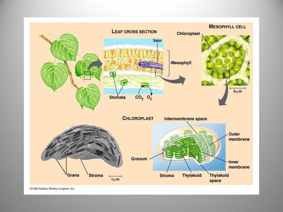 •Tilakoid adalah sistem membran dalam kloroplas (tempat terjadinya reaksi terang).