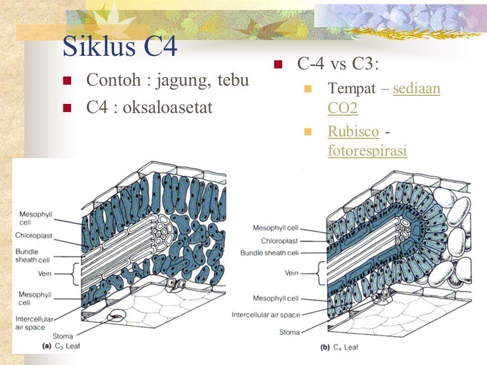 Siklus C4  Contoh : jagung, tebu  C4 : oksaloasetat  C-4 vs C3:  Tempat – sediaan CO2sediaan CO2  Rubisco - fotorespirasi Rubisco fotorespirasi
