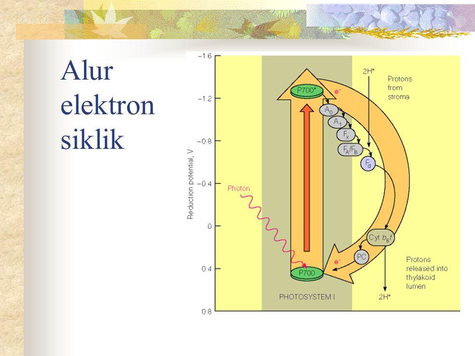Reaksi Gelap (Siklus Calvin)  Terjadi di Stroma Chl  Dua tahap:  Reduksi CO 2 (diikat sbg karboksilat)  aldehid-keton  Pembentukan molekul pengikat CO 2