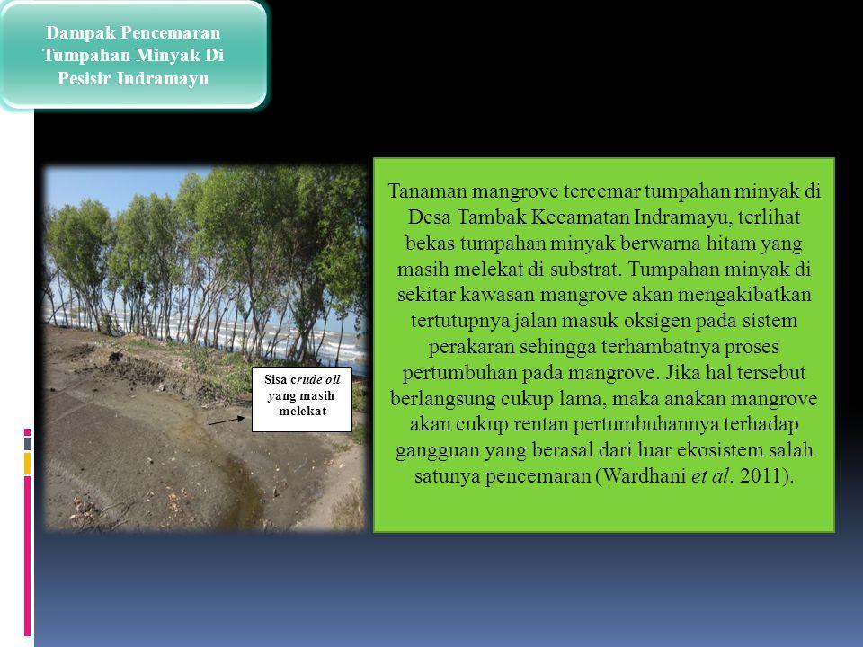 Tanaman mangrove tercemar tumpahan minyak di Desa Tambak Kecamatan Indramayu, terlihat bekas tumpahan minyak berwarna hitam yang masih melekat di subs
