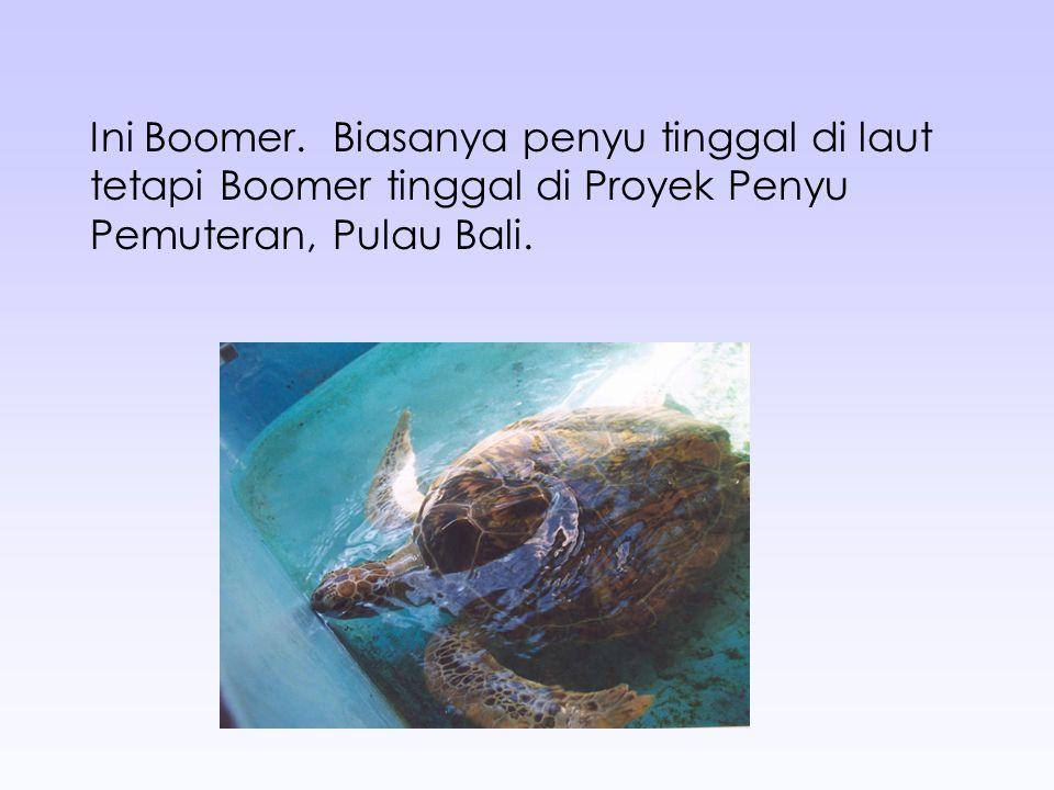 Ini Boomer. Biasanya penyu tinggal di laut tetapi Boomer tinggal di Proyek Penyu Pemuteran, Pulau Bali.