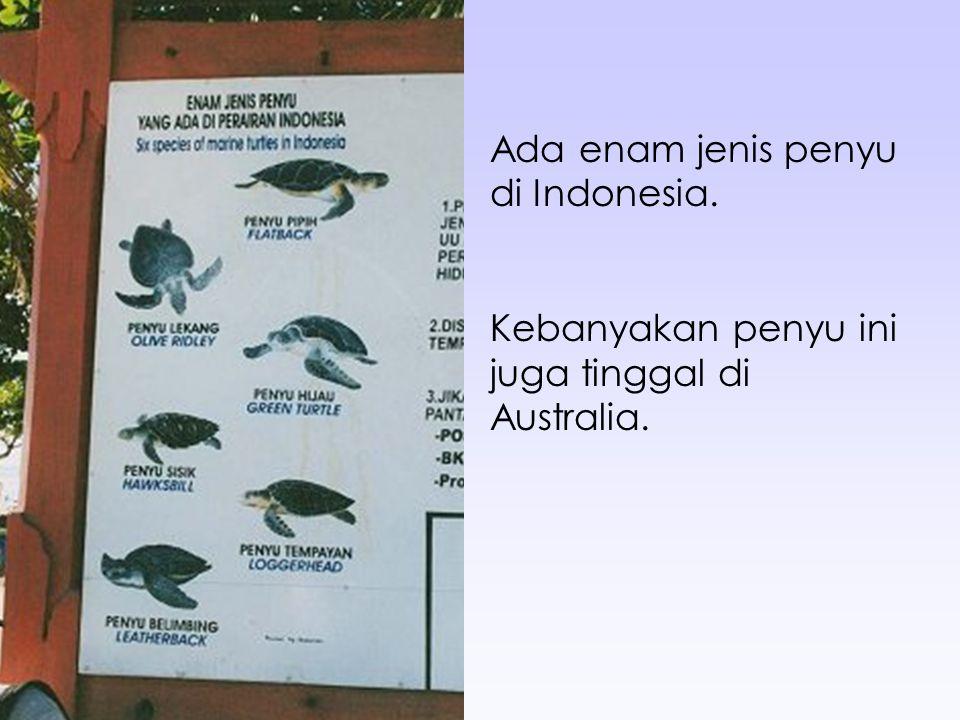 Ada enam jenis penyu di Indonesia. Kebanyakan penyu ini juga tinggal di Australia.