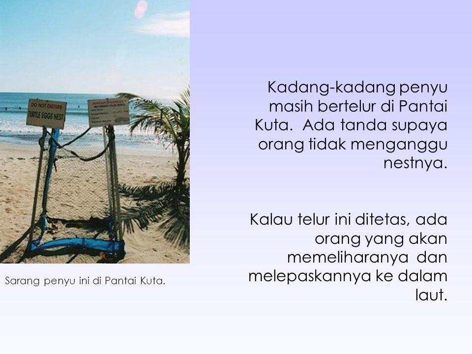 Kadang-kadang penyu masih bertelur di Pantai Kuta.