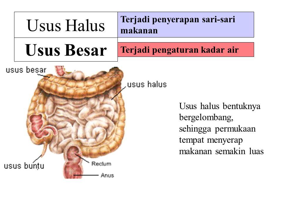 Hati & Pankreas Hati (empedu) mencernakan lemak dan menawarkan racun Pankreas mengeluarkan enzim untuk mencernakan makanan lebih lanjut