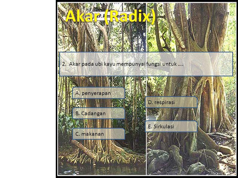 Simulasi Video Soal Profil Materi SK / KD 2. Akar pada ubi kayu mempunyai fungsi untuk …. A. penyerapan B. Cadangan C. makanan D. respirasi E. Sirkula
