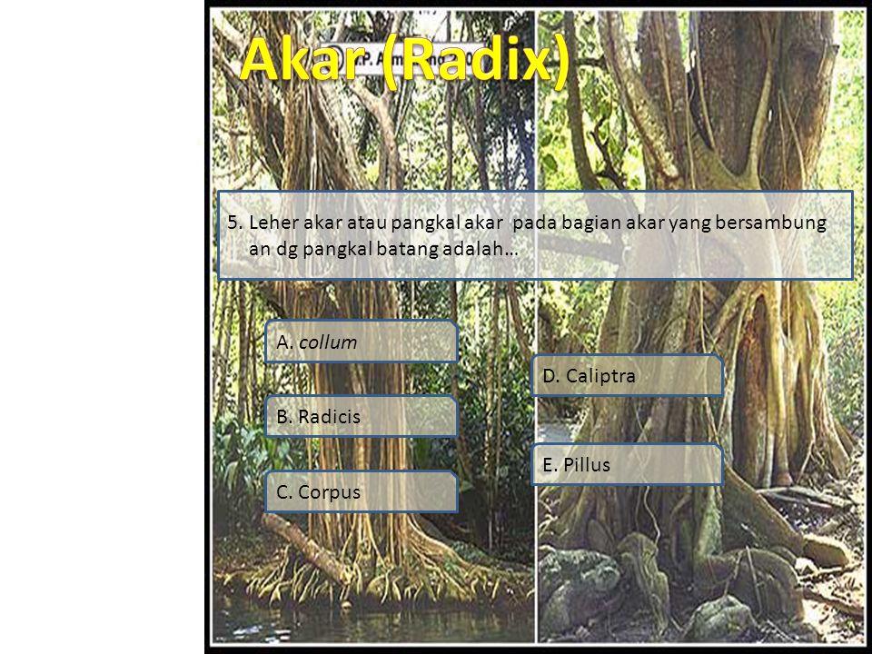 Simulasi Video Soal Profil Materi SK / KD 5. Leher akar atau pangkal akar pada bagian akar yang bersambung an dg pangkal batang adalah… A. collum B. R