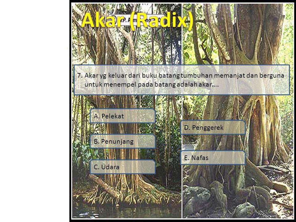 Simulasi Video Soal Profil Materi SK / KD 7. Akar yg keluar dari buku batang tumbuhan memanjat dan berguna untuk menempel pada batang adalah akar…. A.