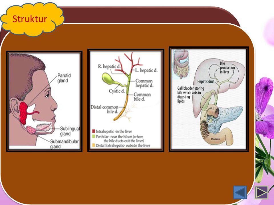 Sistem Pencernaan Pada Manusia Proses: memasukkan, menyimpan makanan sementara, mencerna scr fisik & kimiawi, absorbsi, menyimpan sementara & defekasi