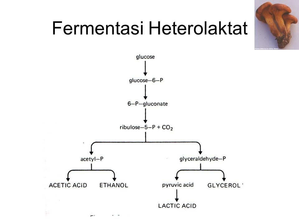 Pencarian Kultur Baru •Contoh klasik adalah penemuan Penicillium notatum yang diisolasi dari kontaminan pada saat menumbuhkan kultur Staphylococcus aureus.