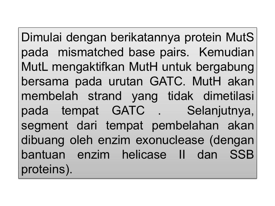 Dimulai dengan berikatannya protein MutS pada mismatched base pairs. Kemudian MutL mengaktifkan MutH untuk bergabung bersama pada urutan GATC. MutH ak