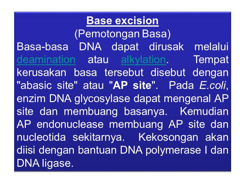 Base excision (Pemotongan Basa) Basa-basa DNA dapat dirusak melalui deamination atau alkylation. Tempat kerusakan basa tersebut disebut dengan