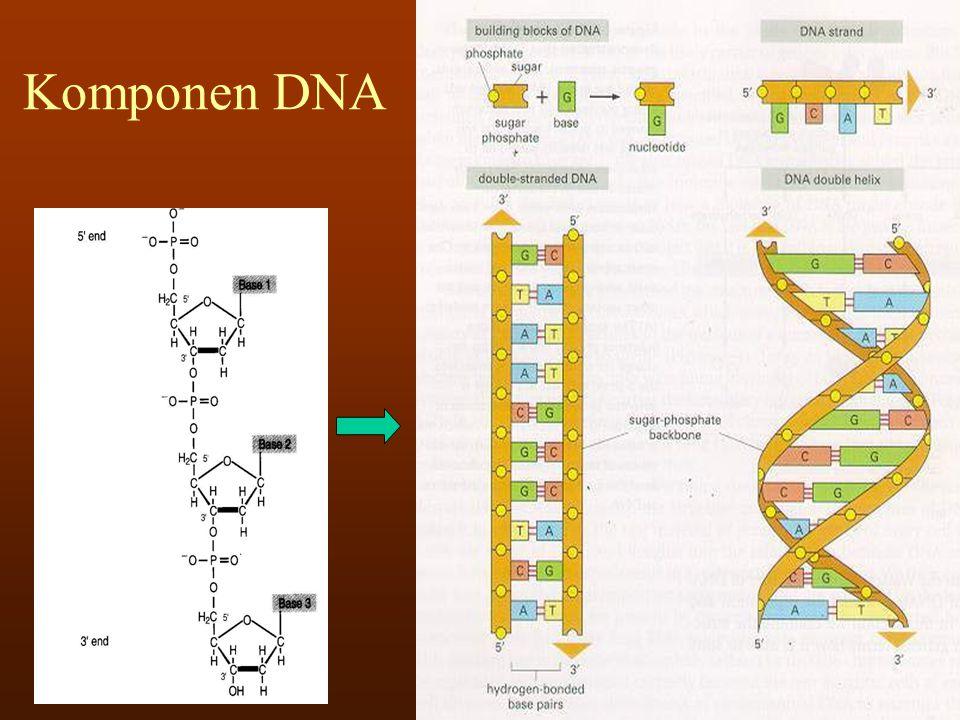 DNA packaging dalam kromosom DNA + histon  nukleosome  solenoid  kromatin/kromosom
