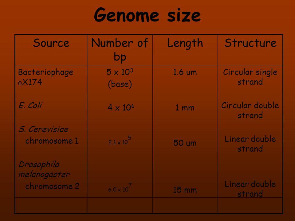 Genome size Circular single strand Circular double strand Linear double strand 1.6 um 1 mm 50 um 15 mm 5 x 10 3 (base) 4 x 10 6 2.1 x 10 5 6.0 x 10 7