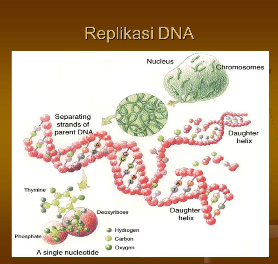  Studi-studi yang dilakukan pada genom organisme prokaryotic menunjukkan bahwa DNA memiliki dua fungsi utama dalam replikasi dirinya sendiri:  Pertama, berfungsi sebagai template (cetakan), dan  Kedua, menghasilkan enzim, khususnya DNA polimerase, dan protein-protein lain yang membantu proses replikasi.