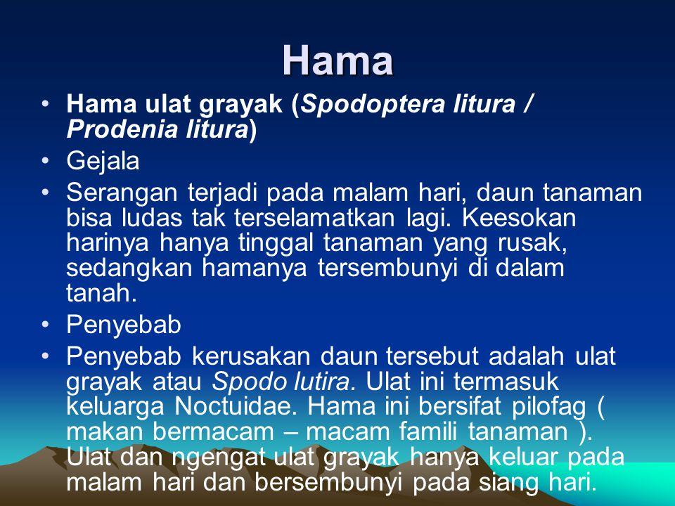 Hama •Hama ulat grayak (Spodoptera litura / Prodenia litura) •Gejala •Serangan terjadi pada malam hari, daun tanaman bisa ludas tak terselamatkan lagi