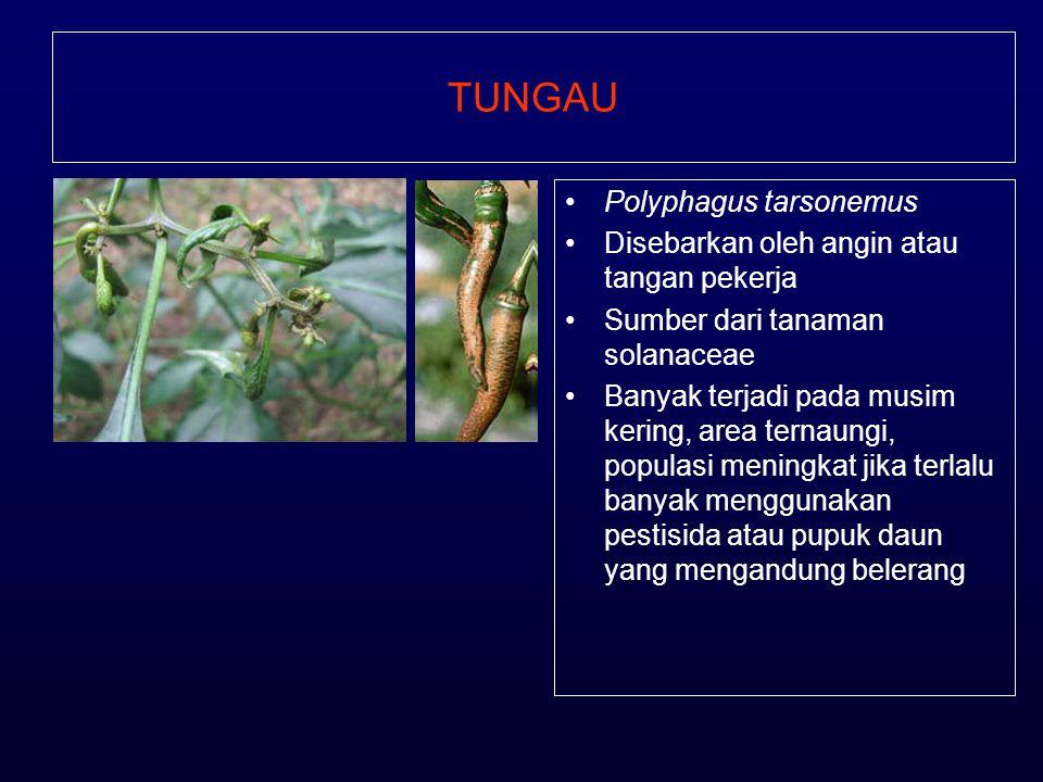 TUNGAU •Polyphagus tarsonemus •Disebarkan oleh angin atau tangan pekerja •Sumber dari tanaman solanaceae •Banyak terjadi pada musim kering, area terna
