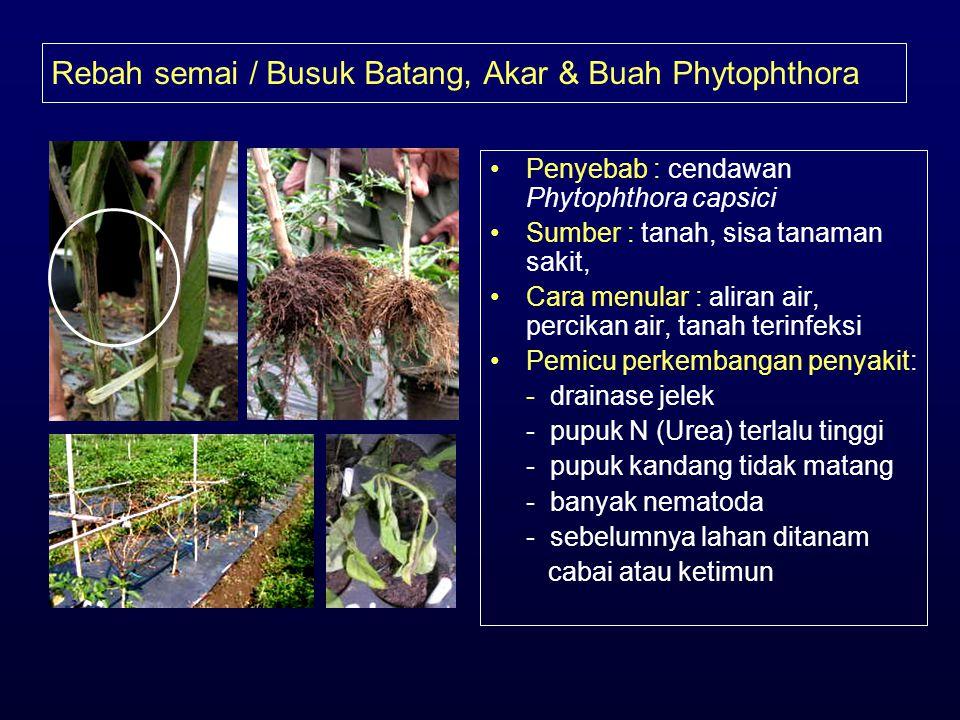 Rebah semai / Busuk Batang, Akar & Buah Phytophthora •Penyebab : cendawan Phytophthora capsici •Sumber : tanah, sisa tanaman sakit, •Cara menular : al