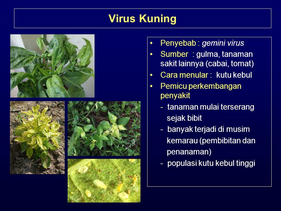 Virus Kuning •Penyebab : gemini virus •Sumber : gulma, tanaman sakit lainnya (cabai, tomat) •Cara menular : kutu kebul •Pemicu perkembangan penyakit -