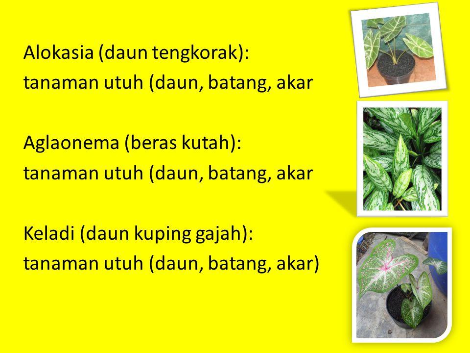 Alokasia (daun tengkorak): tanaman utuh (daun, batang, akar Aglaonema (beras kutah): tanaman utuh (daun, batang, akar Keladi (daun kuping gajah): tanaman utuh (daun, batang, akar)
