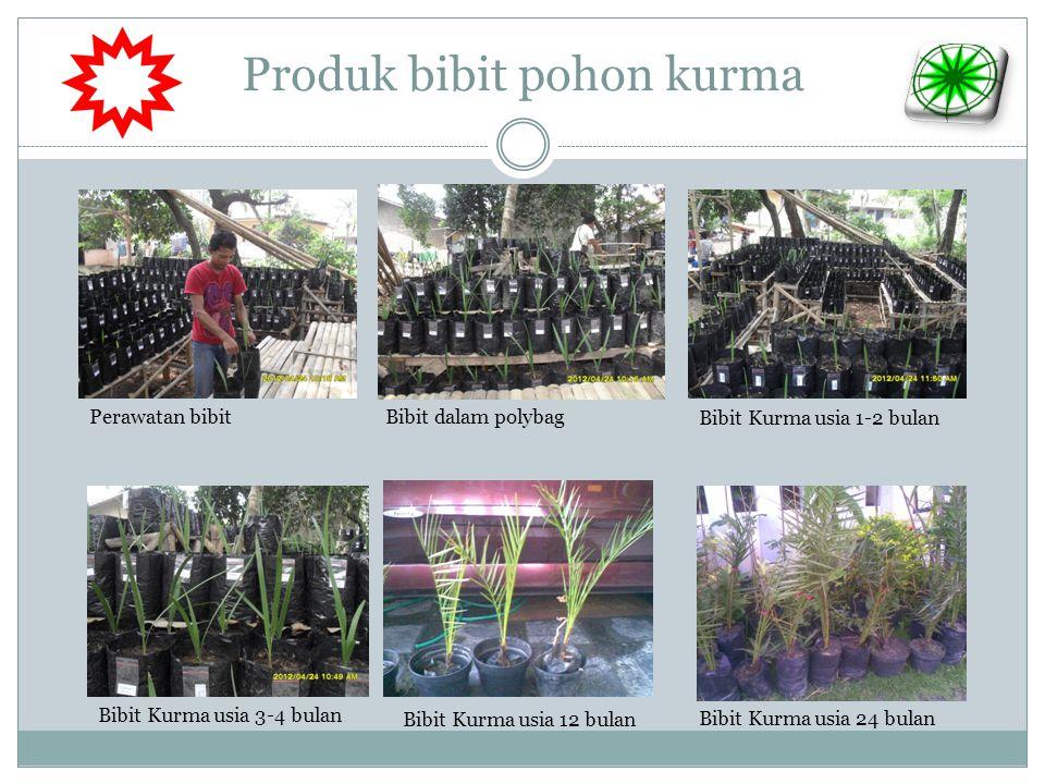 Produk bibit pohon kurma Bibit Kurma usia 3-4 bulan Bibit Kurma usia 12 bulan Bibit Kurma usia 24 bulan Perawatan bibit Bibit Kurma usia 1-2 bulan Bib