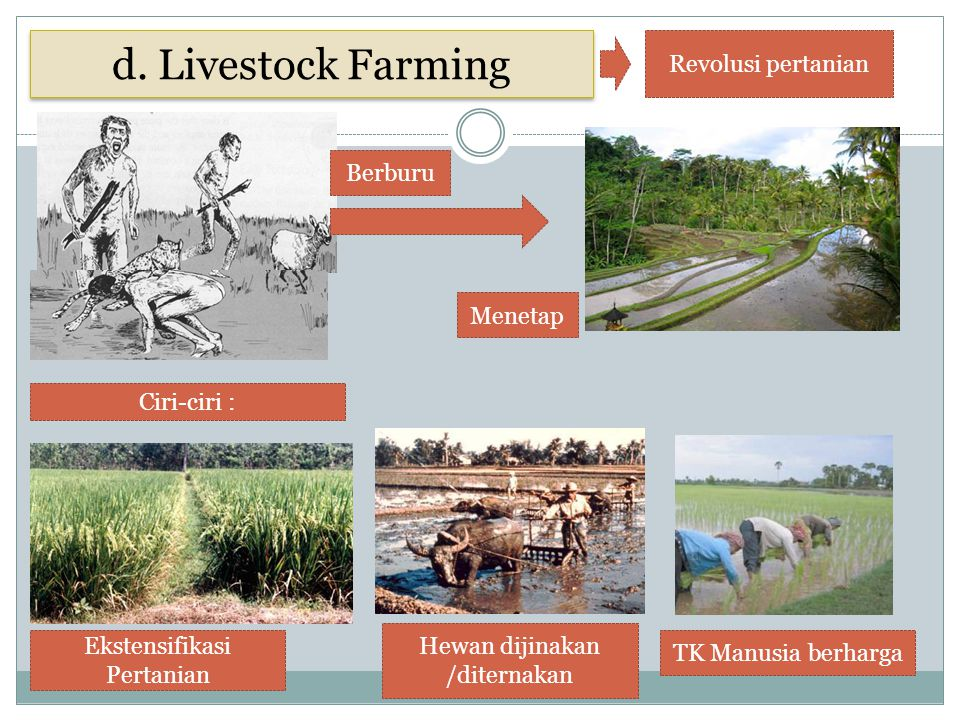 Berburu Menetap Ekstensifikasi Pertanian Hewan dijinakan /diternakan TK Manusia berharga Ciri-ciri : d. Livestock Farming Revolusi pertanian