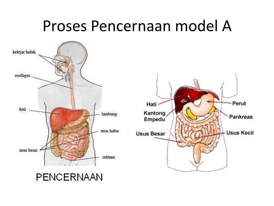 Proses Pencernaan model A
