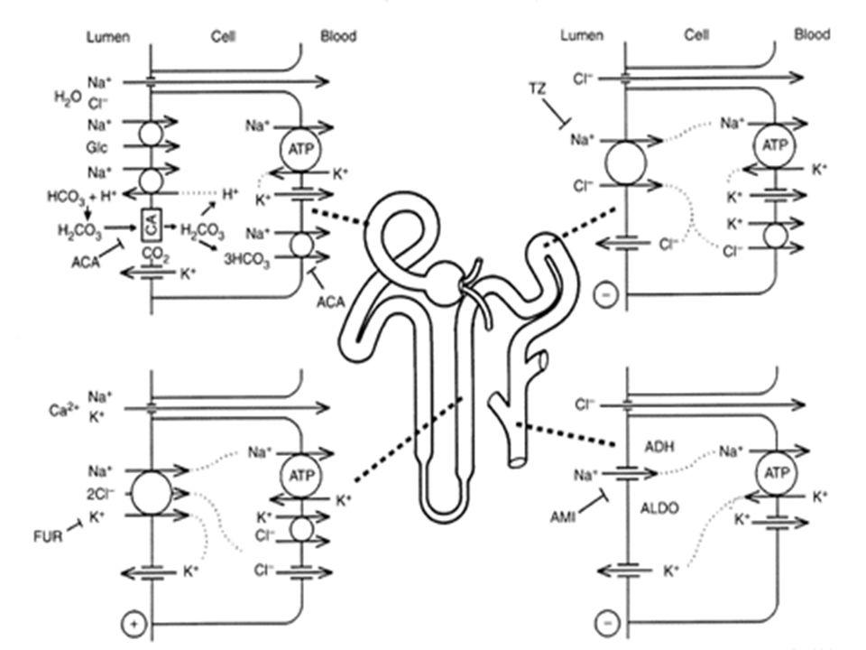 DIURETIK OSMOTIK Mekanisme Kerja : Meningkatkan tekanan osmotik di dalam tubuli ginjal dan cairan disekitar tubuli akan tertarik masuk lumen tubuli, terjadi diuresis.