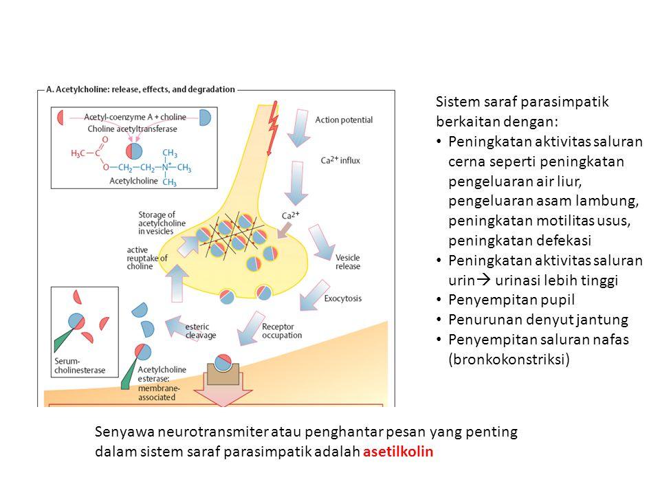 Sistem saraf parasimpatik berkaitan dengan: • Peningkatan aktivitas saluran cerna seperti peningkatan pengeluaran air liur, pengeluaran asam lambung,