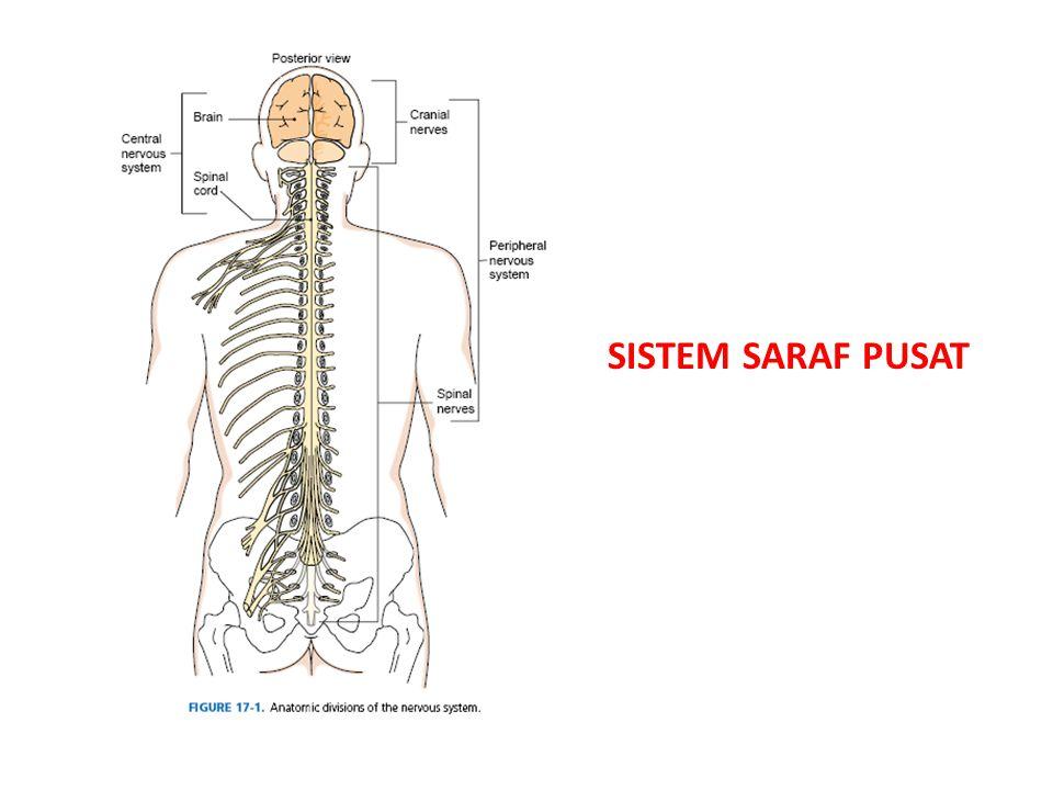 • Bekerja tanpa pengaruh sistem saraf pusat: otak/ sumsum tulang belakang • Mengatur kerja otot polos dan kelenjar secara tidak sadar • Dibagi menjadi dua: simpatik dan parasimpatik • Pada beberapa aktivitas berlawanan, antara simpatik dan parasimpatik Sistem saraf otonom: