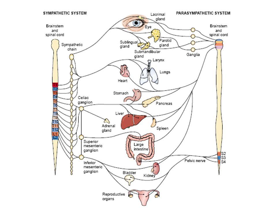 KELOMPOKEFEKOBAT Parasimpatomimetik langsung Meningkatkan tonus otot, mengurangi glukoma Karbakol, pilokarpin Parasimpatomimetk tak langsung Meningkatkan tonus otot, mengurangi glukoma Neostigmin, fisostigmin Meningkatkan kemampuan memori  digunakan pada penderita penyakit Alzheimer Rivastigmin PARASIMPATOMIMETIK