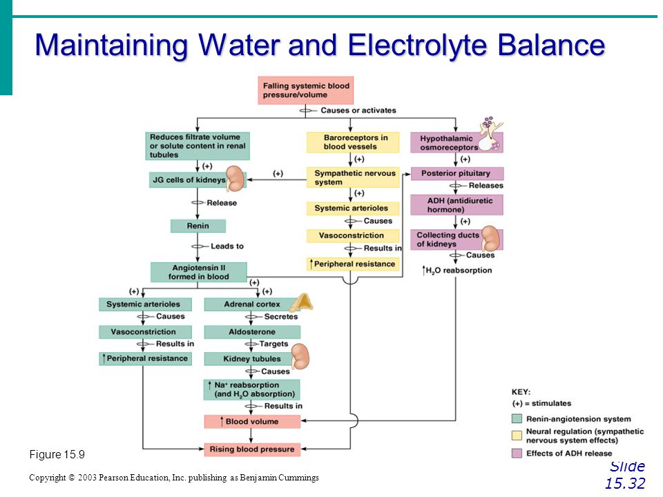Maintaining Water and Electrolyte Balance Slide 15.32 Copyright © 2003 Pearson Education, Inc. publishing as Benjamin Cummings Figure 15.9
