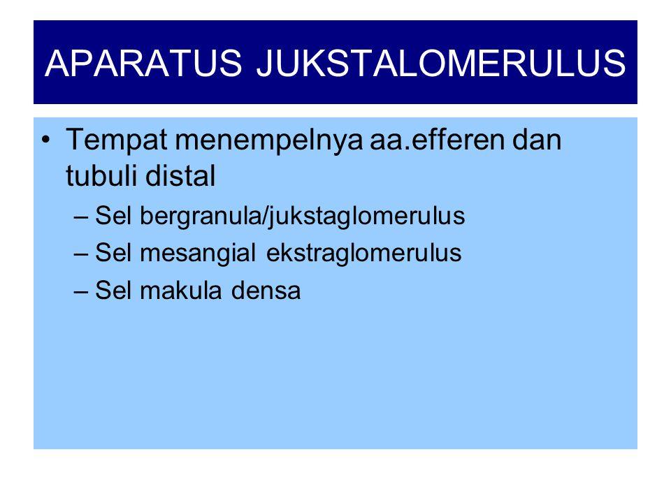 APARATUS JUKSTALOMERULUS •Tempat menempelnya aa.efferen dan tubuli distal –Sel bergranula/jukstaglomerulus –Sel mesangial ekstraglomerulus –Sel makula densa