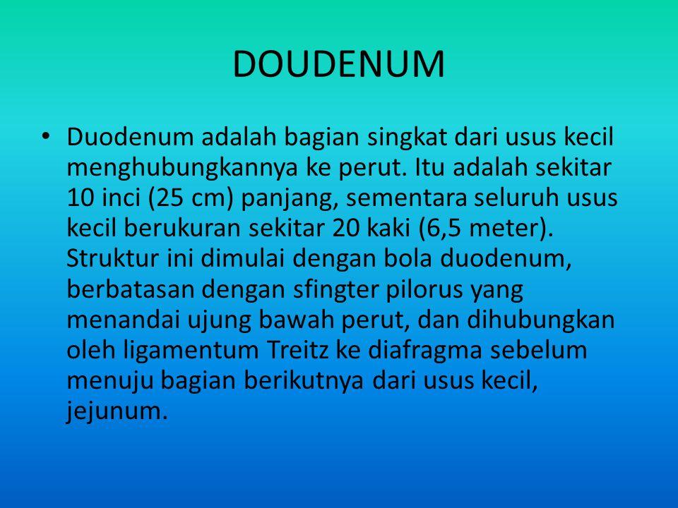 DOUDENUM • Duodenum adalah bagian singkat dari usus kecil menghubungkannya ke perut. Itu adalah sekitar 10 inci (25 cm) panjang, sementara seluruh usu