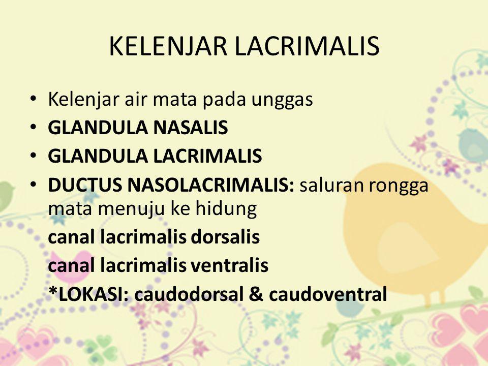 KELENJAR LACRIMALIS • Kelenjar air mata pada unggas • GLANDULA NASALIS • GLANDULA LACRIMALIS • DUCTUS NASOLACRIMALIS: saluran rongga mata menuju ke hi