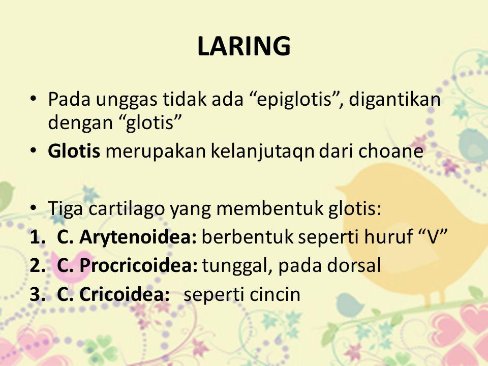 """LARING • Pada unggas tidak ada """"epiglotis"""", digantikan dengan """"glotis"""" • Glotis merupakan kelanjutaqn dari choane • Tiga cartilago yang membentuk glot"""