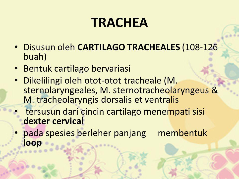 TRACHEA • Disusun oleh CARTILAGO TRACHEALES (108-126 buah) • Bentuk cartilago bervariasi • Dikelilingi oleh otot-otot tracheale (M. sternolaryngeales,