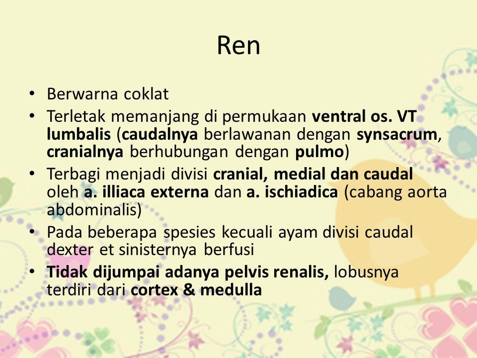 Ren • Berwarna coklat • Terletak memanjang di permukaan ventral os. VT lumbalis (caudalnya berlawanan dengan synsacrum, cranialnya berhubungan dengan