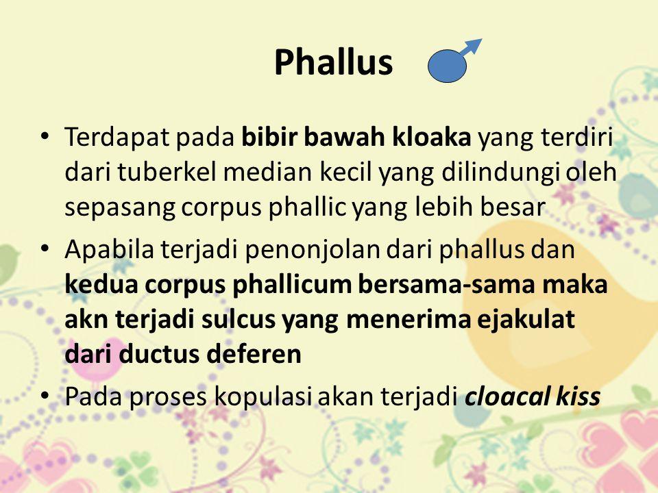 Phallus • Terdapat pada bibir bawah kloaka yang terdiri dari tuberkel median kecil yang dilindungi oleh sepasang corpus phallic yang lebih besar • Apa