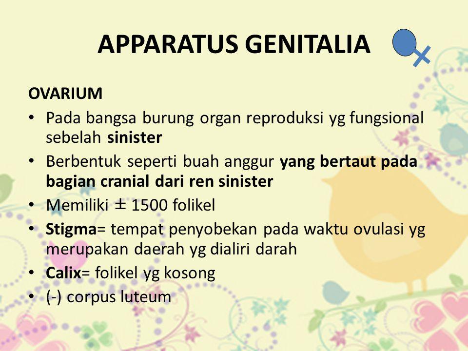 APPARATUS GENITALIA OVARIUM • Pada bangsa burung organ reproduksi yg fungsional sebelah sinister • Berbentuk seperti buah anggur yang bertaut pada bag