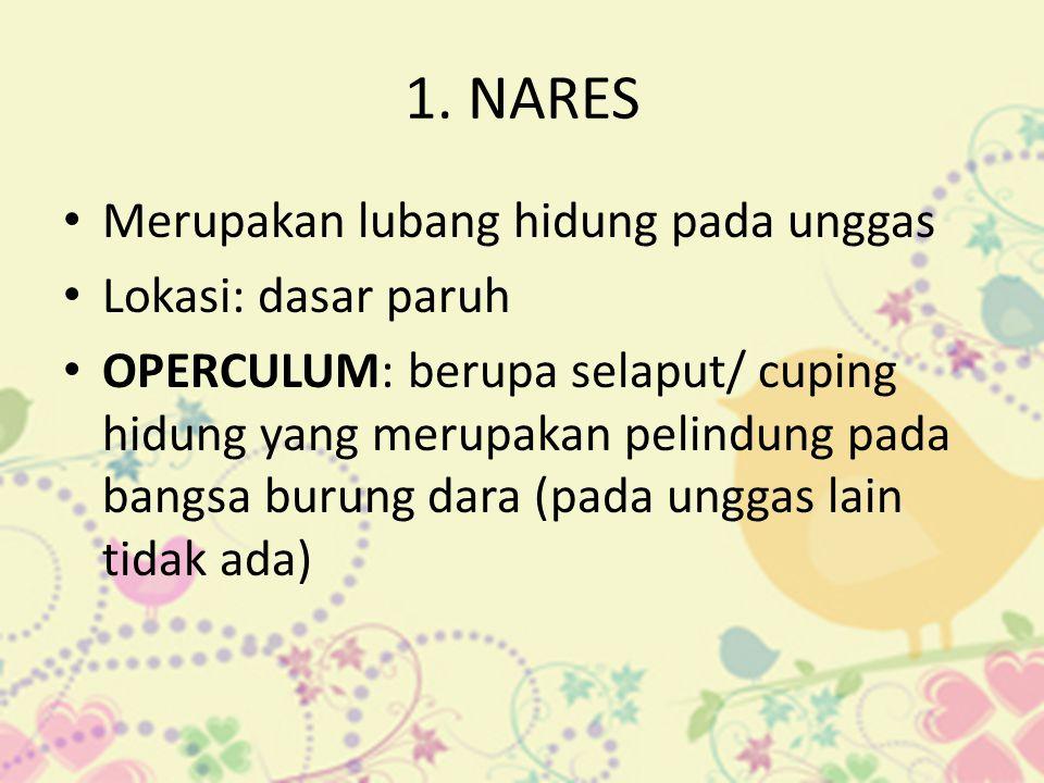 1. NARES • Merupakan lubang hidung pada unggas • Lokasi: dasar paruh • OPERCULUM: berupa selaput/ cuping hidung yang merupakan pelindung pada bangsa b