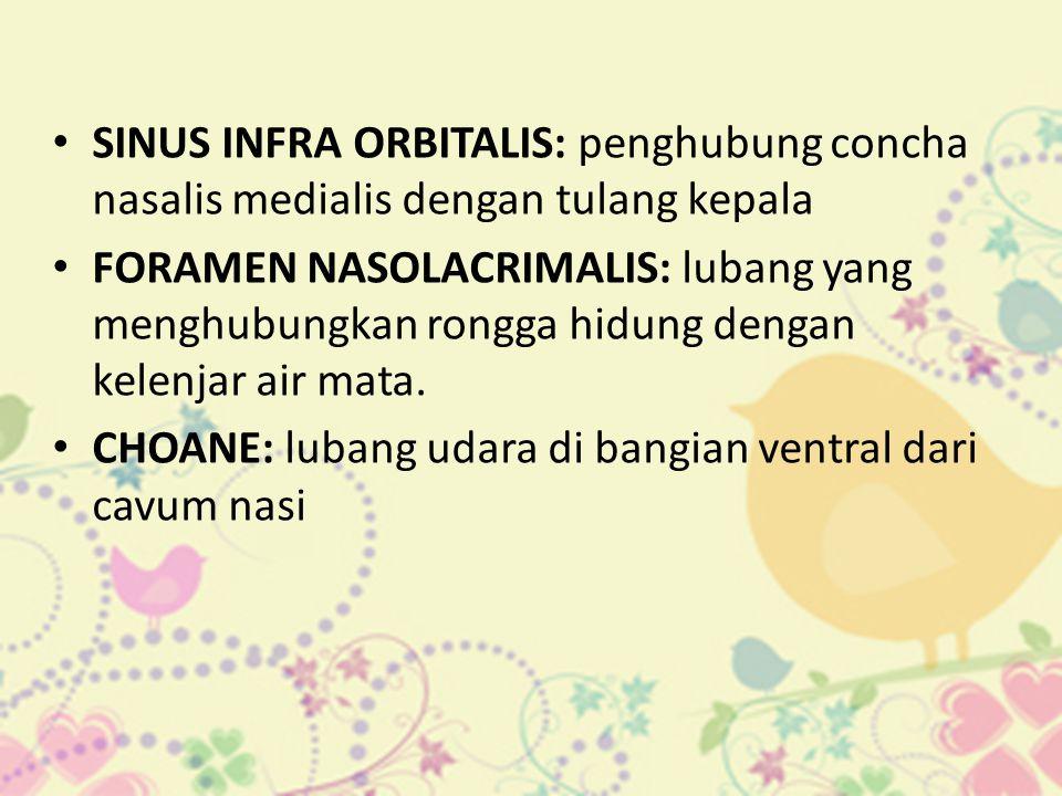 • SINUS INFRA ORBITALIS: penghubung concha nasalis medialis dengan tulang kepala • FORAMEN NASOLACRIMALIS: lubang yang menghubungkan rongga hidung den