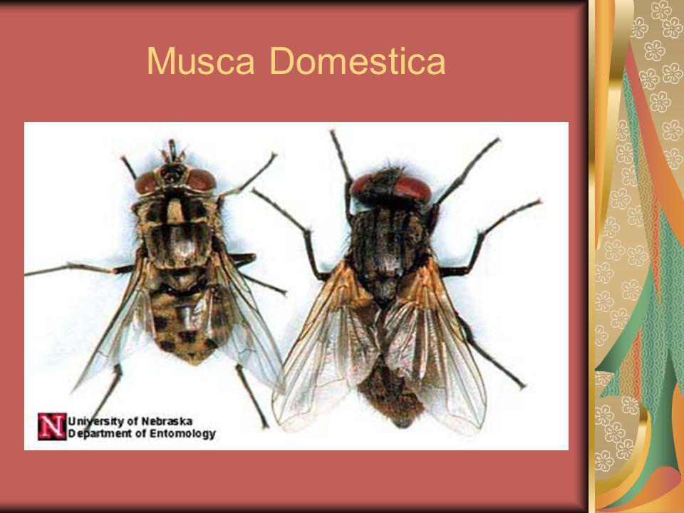 LALAT RUMAH (Musca Domestica) Hidupnya erat dgn kehidupan manusia Mendpt makanan dr manusia & sampah, dimn mereka dpt mendpt berbagai patogen dan menularkn Di daerah beriklim panas lalat rmh hidup berdampingan dgn spesies lalat yg hidup disampah Musca sorbens (dpt menularkn penyakit infeksi mata) Daur hidup : 4 stadium:telur, larva,pupa dan dewasa Lama pertumbuhan (telur-dewasa) = 6-42 hari Longevity (lama kehidupan lalat) 2-3 minggu Pd kondisi dingin smp 3 bln