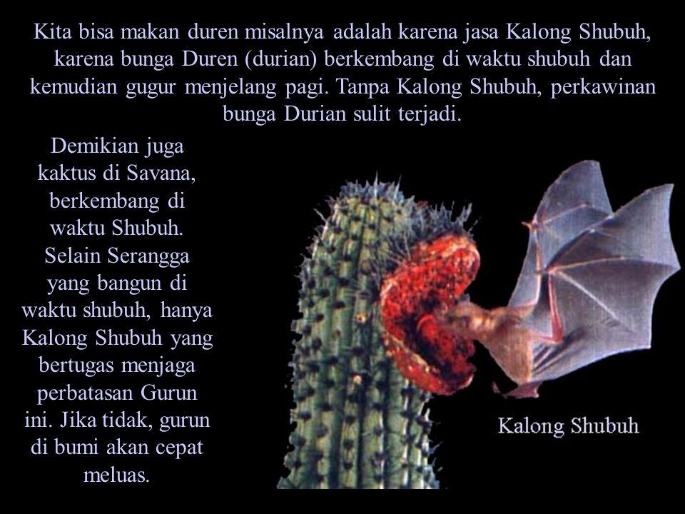 Kita bisa makan duren misalnya adalah karena jasa Kalong Shubuh, karena bunga Duren (durian) berkembang di waktu shubuh dan kemudian gugur menjelang p
