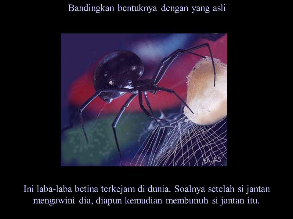 Bandingkan bentuknya dengan yang asli Ini laba-laba betina terkejam di dunia. Soalnya setelah si jantan mengawini dia, diapun kemudian membunuh si jan
