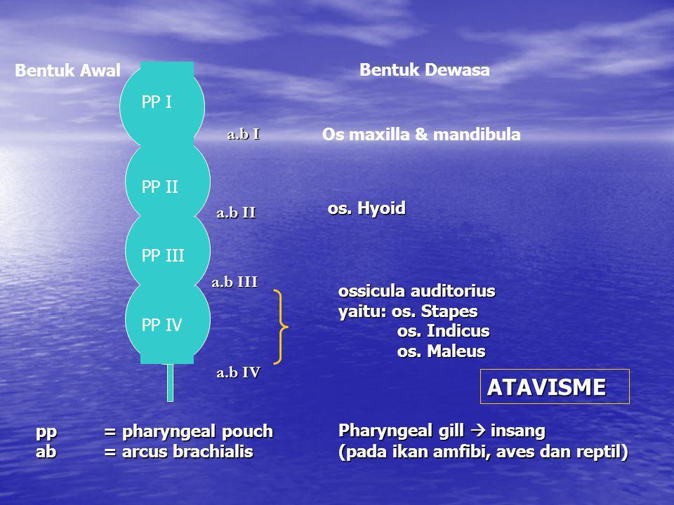 a.b I a.b II a.b III a.b IV Bentuk Dewasa Bentuk Awal Os maxilla & mandibula os. Hyoid ossicula auditorius yaitu: os. Stapes os. Indicus os. Indicus o