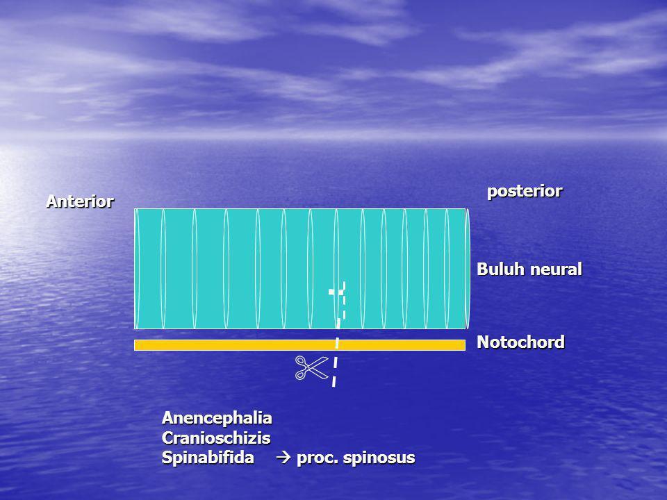 Anterior posterior Buluh neural Notochord AnencephaliaCranioschizis Spinabifida  proc. spinosus 